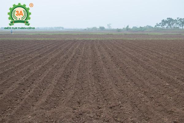 Kỹ thuật trồng khoai tây (02)