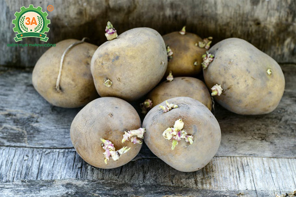 Kỹ thuật trồng khoai tây (03)