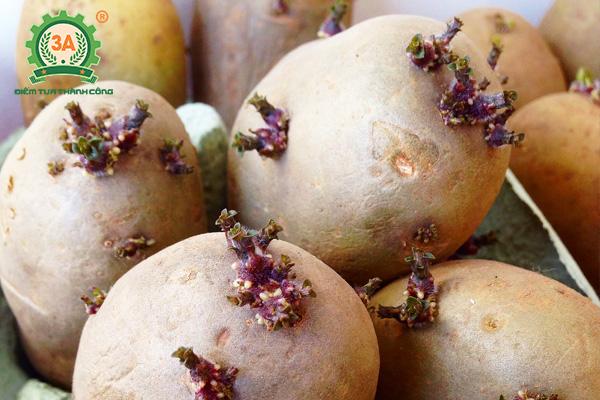 Kỹ thuật trồng khoai tây (06)