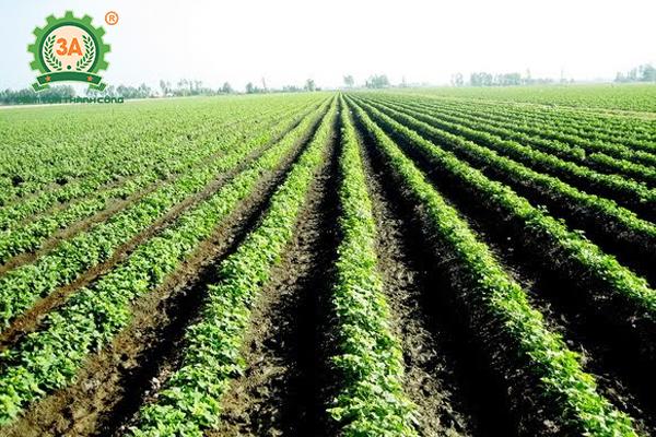 Kỹ thuật trồng khoai tây (07)