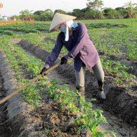 Kỹ thuật trồng khoai tây (11)