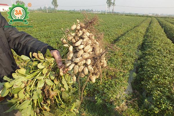 Kỹ thuật trồng lạc (01)