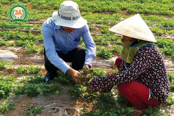 Kỹ thuật trồng lạc (06)