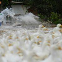 Dịch cúm gia cầm A/H5N6 diễn biến phức tạp