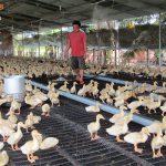 Kỹ thuật nuôi ngan trên sàn cho hiệu quả kinh tế cao