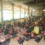 Những điều cần biết về bệnh ký sinh trùng đường máu ở gà