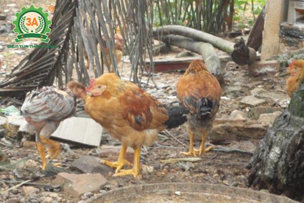 Bệnh ký sinh trùng đường máu ở gà (02)