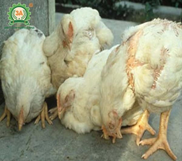 Bệnh ký sinh trùng đường máu ở gà (04)