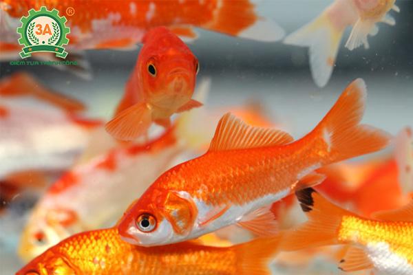 Cách nuôi cá chép vàng (01)