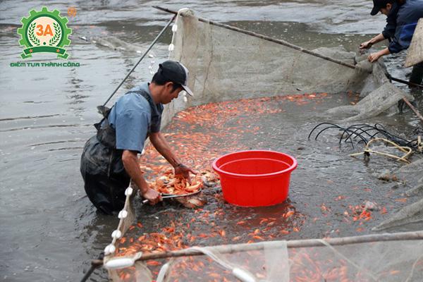 Cách nuôi cá chép vàng (08)