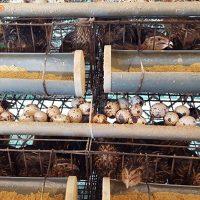 Kỹ thuật nuôi chim cút đẻ trứng (01)