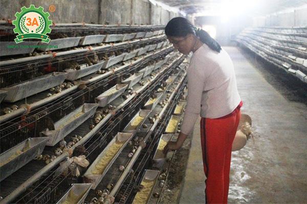 Kỹ thuật nuôi chim cút đẻ trứng (02)
