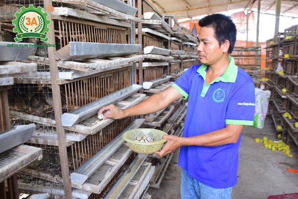 Kỹ thuật nuôi chim cút đẻ trứng (05)