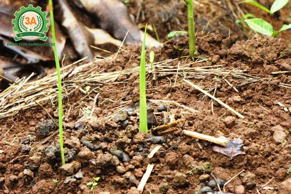 Kỹ thuật trồng nghệ vàng (06)