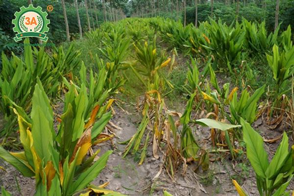 Kỹ thuật trồng nghệ vàng (09)