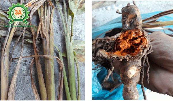 Kỹ thuật trồng nghệ vàng (10)