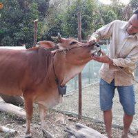 Bệnh tụ huyết trùng trâu bò (01)