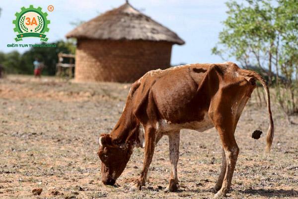 Bệnh tụ huyết trùng trâu bò (07)