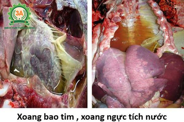 Bệnh tụ huyết trùng trâu bò (08)