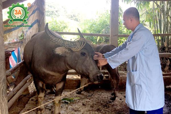 Bệnh tụ huyết trùng trâu bò (09)