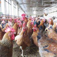 Kỹ thuật nuôi gà Lương Phượng Hoa sinh sản (01)