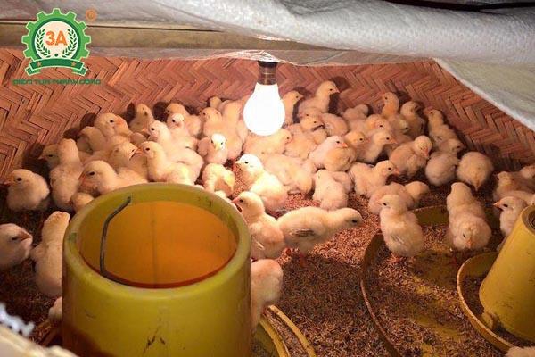 Kỹ thuật nuôi gà Lương Phượng Hoa sinh sản (04)