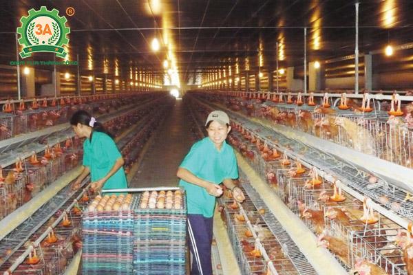 Kỹ thuật nuôi gà Lương Phượng Hoa sinh sản (11)