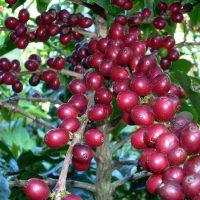 Kỹ thuật trồng cà phê (01)