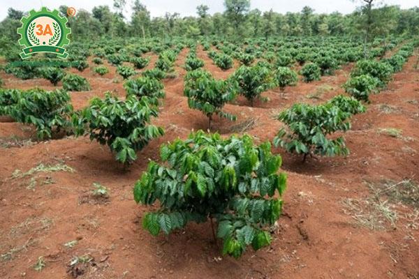 Kỹ thuật trồng cà phê (03)