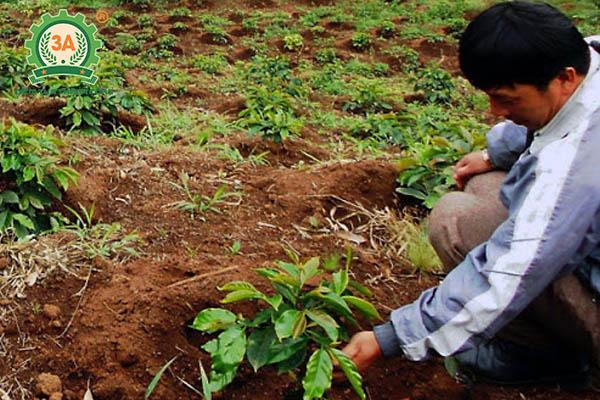 Kỹ thuật trồng cà phê (07)