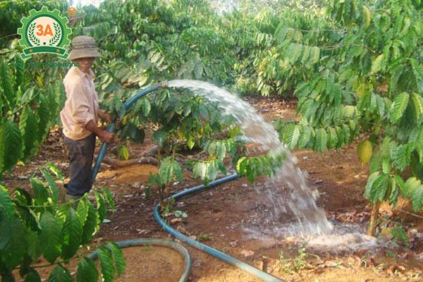 Kỹ thuật trồng cà phê (08)