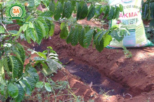 Kỹ thuật trồng cà phê (09)