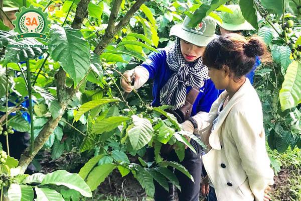 Kỹ thuật trồng cà phê (10)