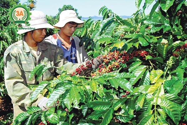 Kỹ thuật trồng cà phê (12)