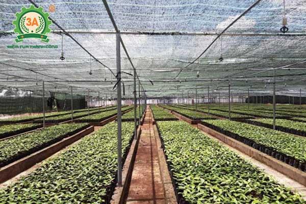 Kỹ thuật trồng tiêu (04)