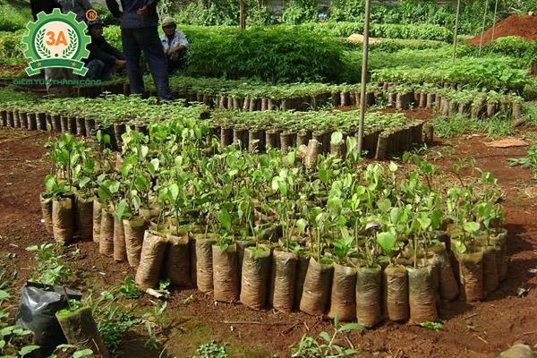 Kỹ thuật trồng tiêu (09)
