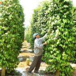 Trọn bộ hướng dẫn kỹ thuật trồng tiêu phát triển bền vững