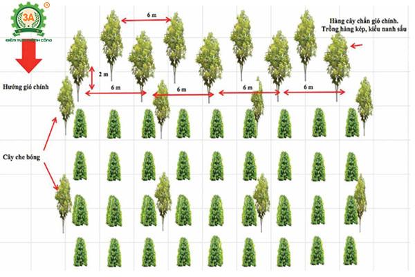Kỹ thuật trồng tiêu (14)