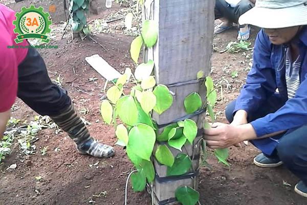 Kỹ thuật trồng tiêu (16)