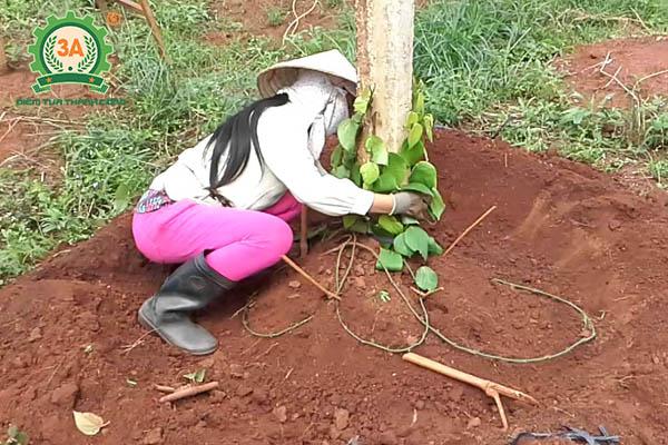 Kỹ thuật trồng tiêu (18)