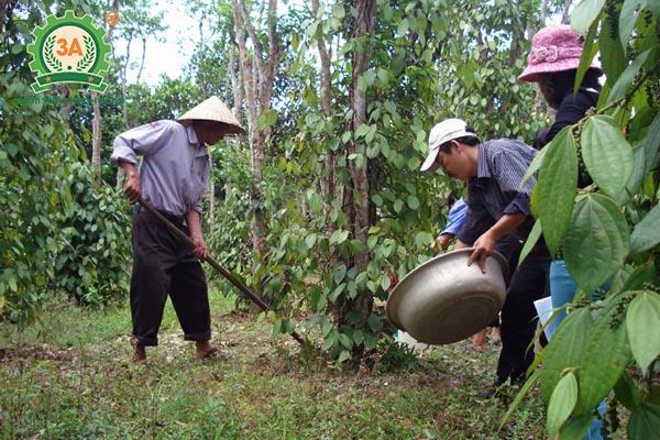 Kỹ thuật trồng tiêu (19)