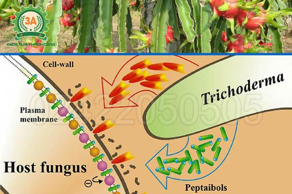 Nấm đối kháng Trichoderma (07)