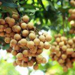 Kỹ thuật trồng nhãn cho vụ mùa bội thu