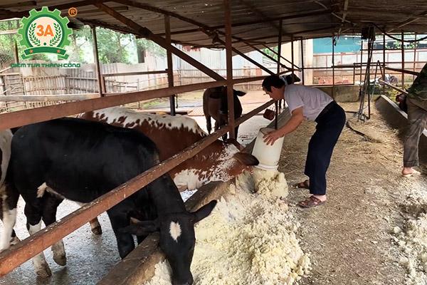 Mô hình nuôi bò sinh sản và bò giống ứng dụng dây chuyền chế biến thức ăn gia súc 3A