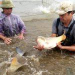 Cách chế biến thức ăn cho cá chép đạt năng suất vượt trội