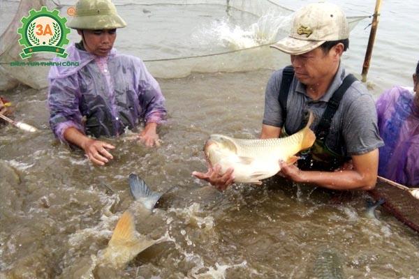 Thức ăn cho cá chép (01)