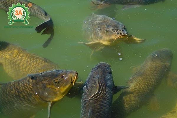 Thức ăn cho cá chép (06)