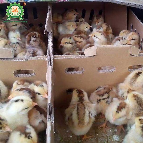 Kỹ thuật chăn nuôi gà mía (02)