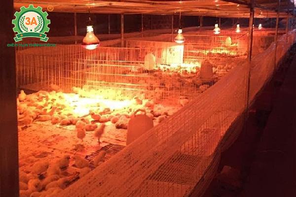 Kỹ thuật chăn nuôi gà mía (05)