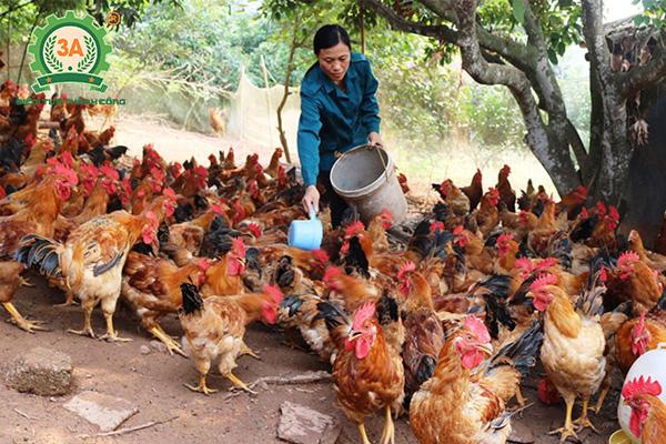 Kỹ thuật chăn nuôi gà mía (08)
